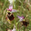 ophrys-bourdon_bollenberg-68