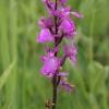 orchis-des-marais_rossfeld-67