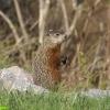 marmotte-canada-2008