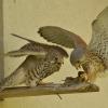 faucons-crecerelles