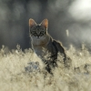 Chat sauvage africain © Alain Balestreri