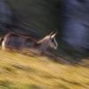 La course du chamois © Alain Balestreri