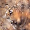 Tigre dans la foret seche © Alain Balestreri