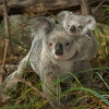 09 Koalas [Forêt sèche du Queensland | Australie] © Bruno Lelièvre