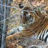Tigresse du Bengale au parc national de Kanha (Inde) © Jean Barbery