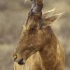 Bubale au parc national de Addo (Afrique du sud) © Jean Barbery