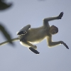 Saut d'une femelle nasique dans la canopée au bord de la rivière Kinabatangan (Bornéo) © Jean Barbery