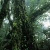 Un avocatier dans une forêt de montagne (Costa Rica) © Jean Barbery