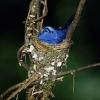 Un gobe-mouche au nid en Malaisie (parc national de Taman Negara) © Jean Barbery