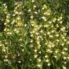 cypripedium-californicum-usa-ca