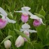 cypripedium-reginae_manitoulin-island-cdn