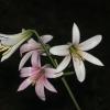 lilium-washingtonianum-usa-ca