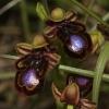 ophrys-miroir-gr-macedoine