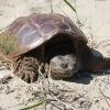 tortue-serpentine_manitoulin-island-cdn