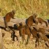 mangoustes-naines-botswana-2009