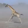 Girafes à etosha © Alain Balestreri
