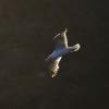 Goeland au crepuscule © Alain Balestreri