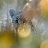 Leopard dans la foret de mopanes © Alain Balestreri