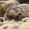 Loutre d'europe © Anthony Chuet