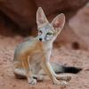 14 Renard du désert [Arizona] © Bruno Lelièvre