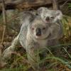09 Koalas [Forêt sèche du Queensland   Australie] © Bruno Lelièvre