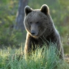 Ours brun © Etienne Sipp