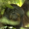 Orang-outang sauvage à Bornéo