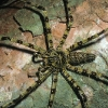 Une araignée chasseuse ( Malaisie) © Jean Barbery