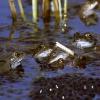Ponte de grenouilles rousses dans un étang du Sundgau © Jean Barbery