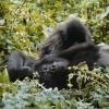 Gorille de montagne (Rwanda) © Jean Barbery