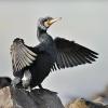 cormorand_1
